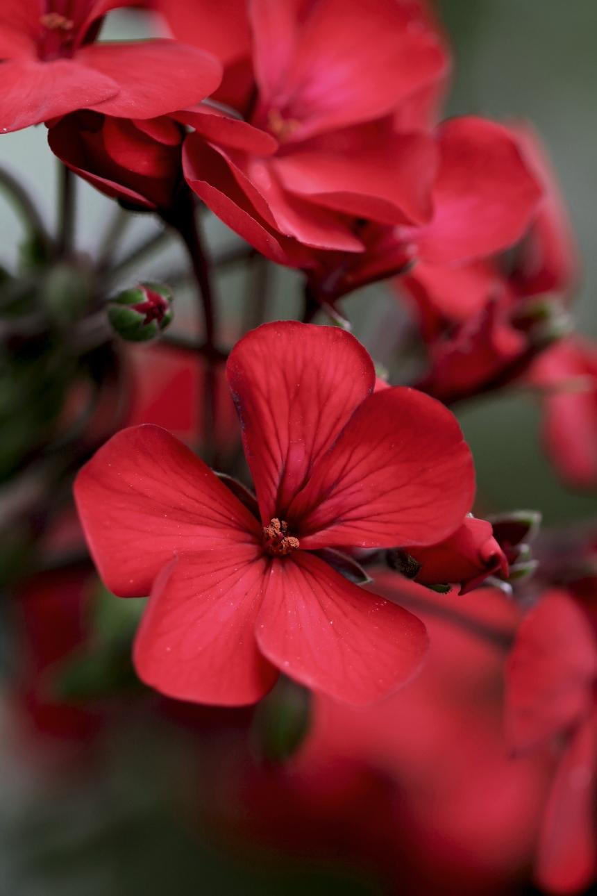 Geraniums red 3