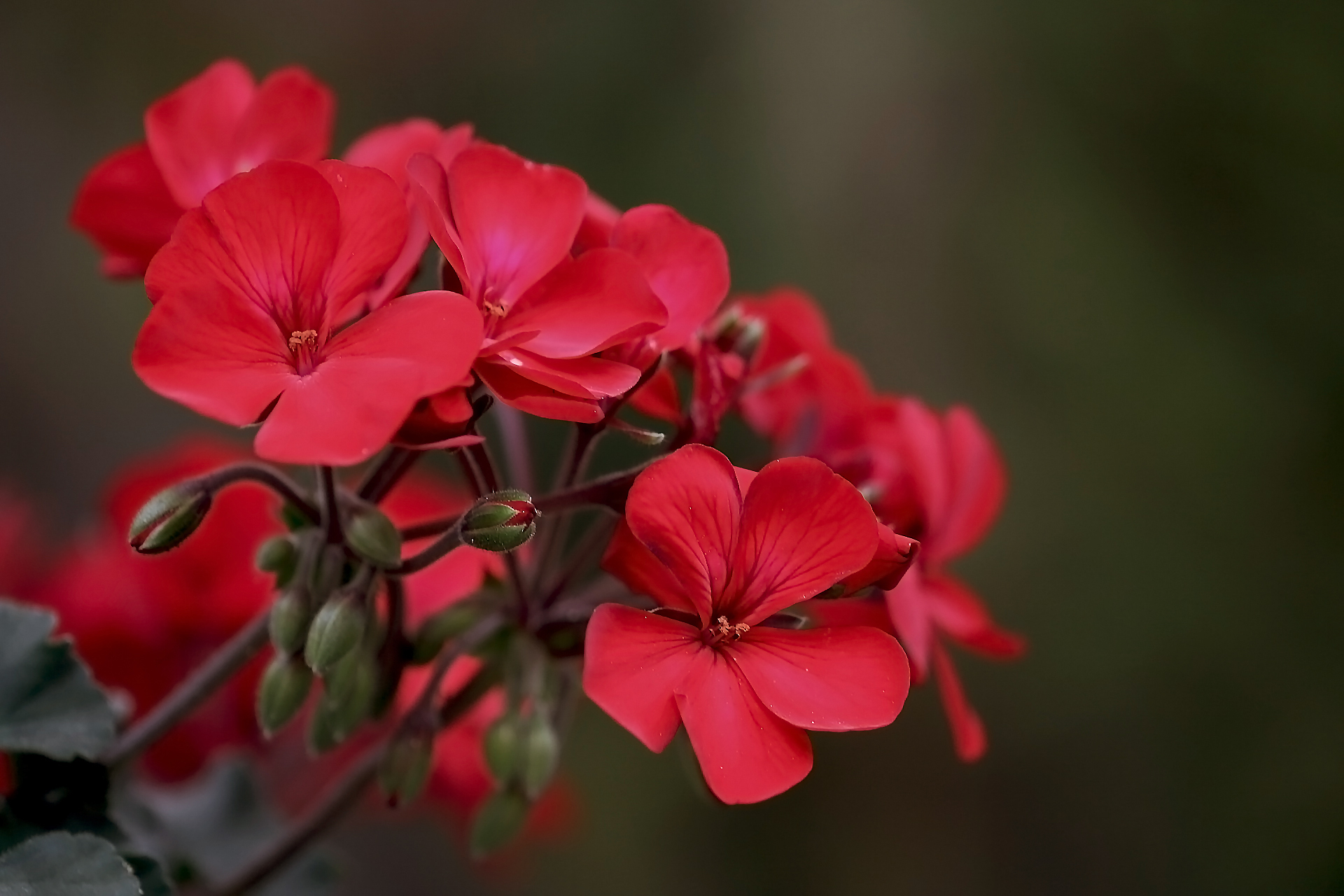 Geraniums red side cluster