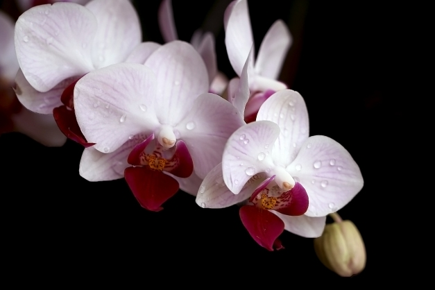orchid-white-pink-spray