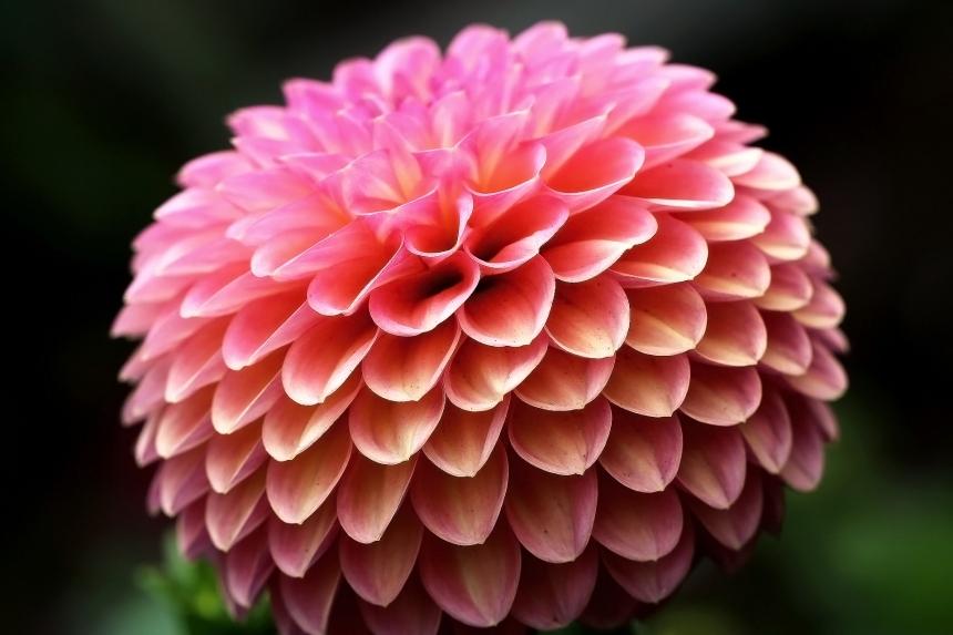 pom-pom-petals