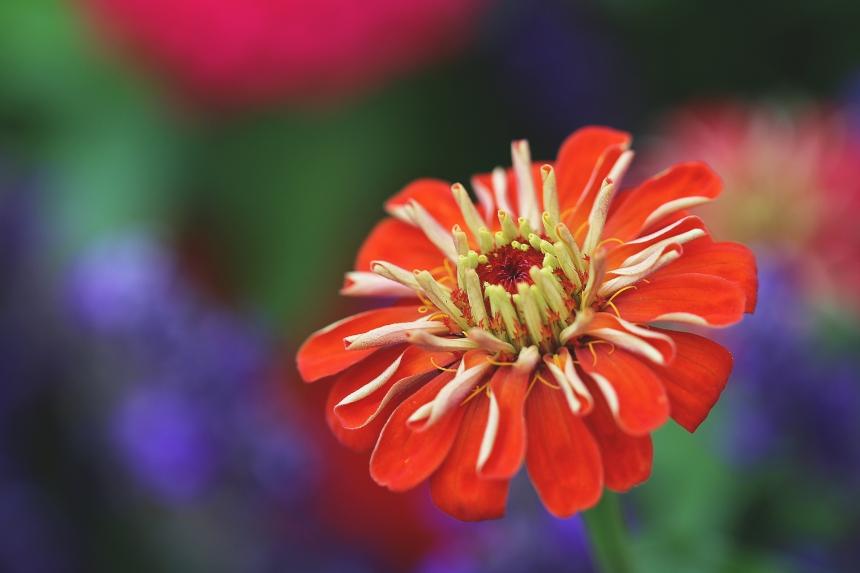 zinnia-garden-3