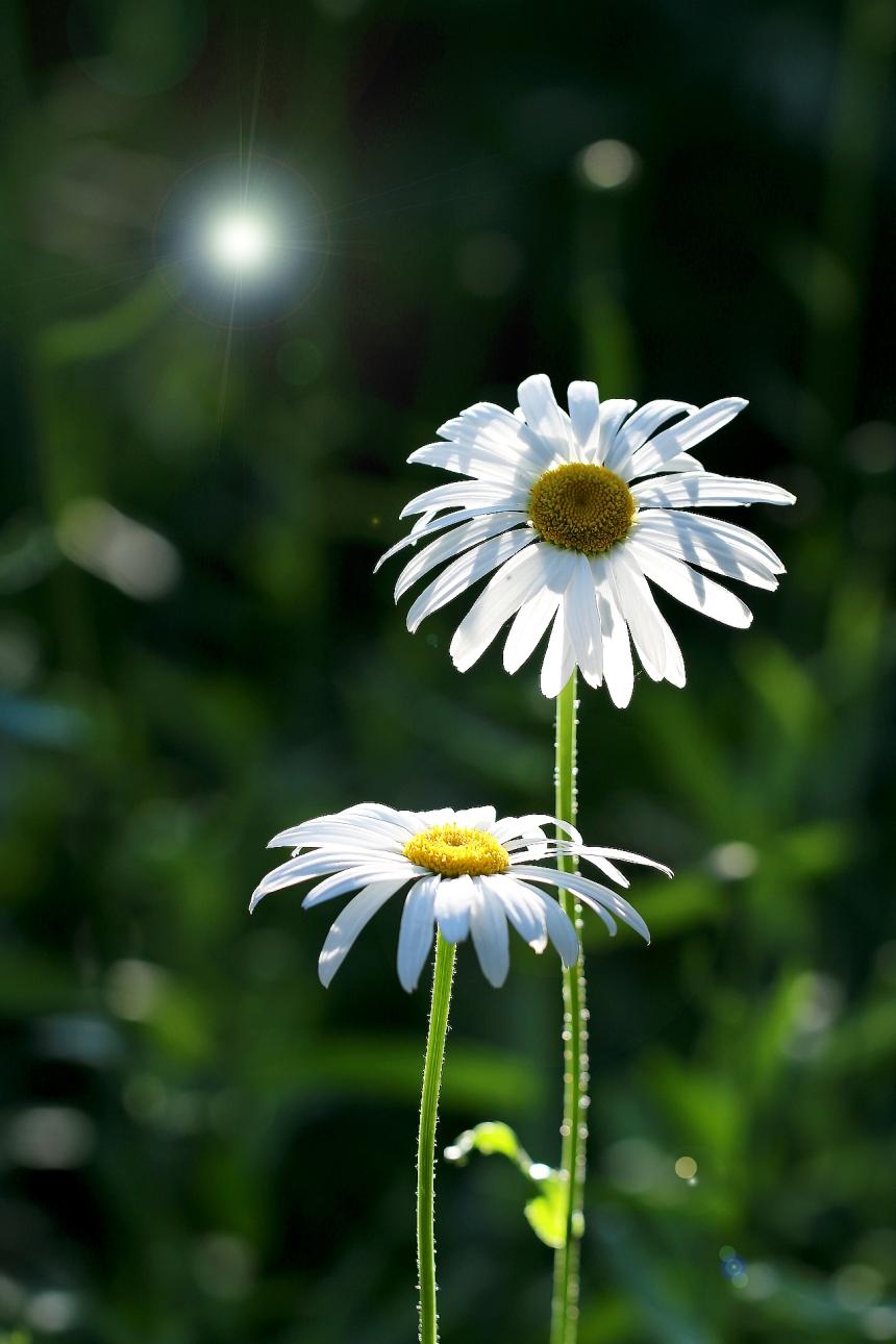 daisy-daisy