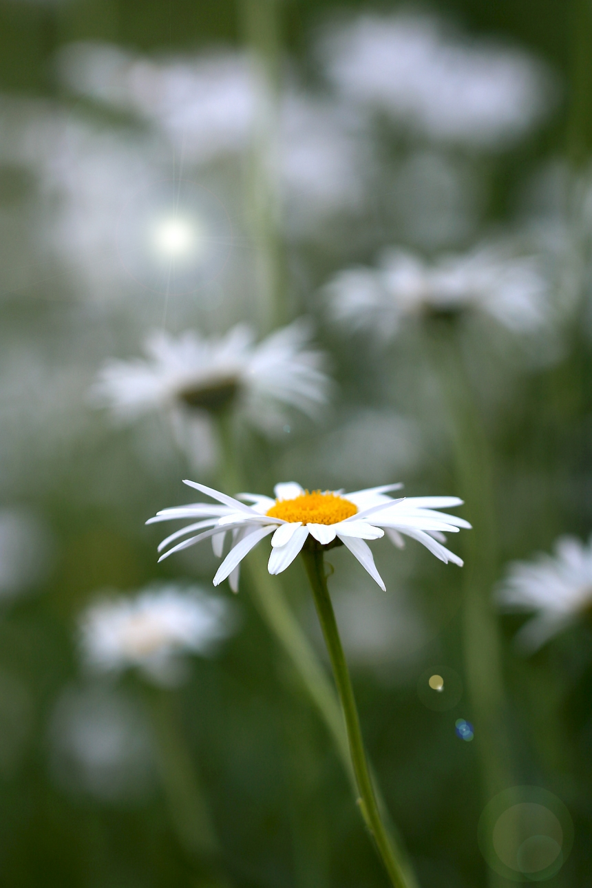 daisy-in-field