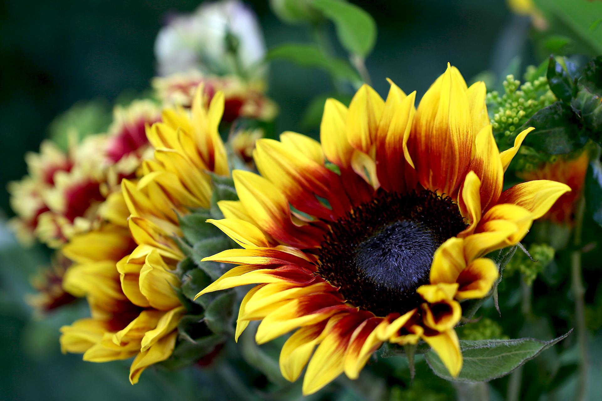 sunflower-bouquet