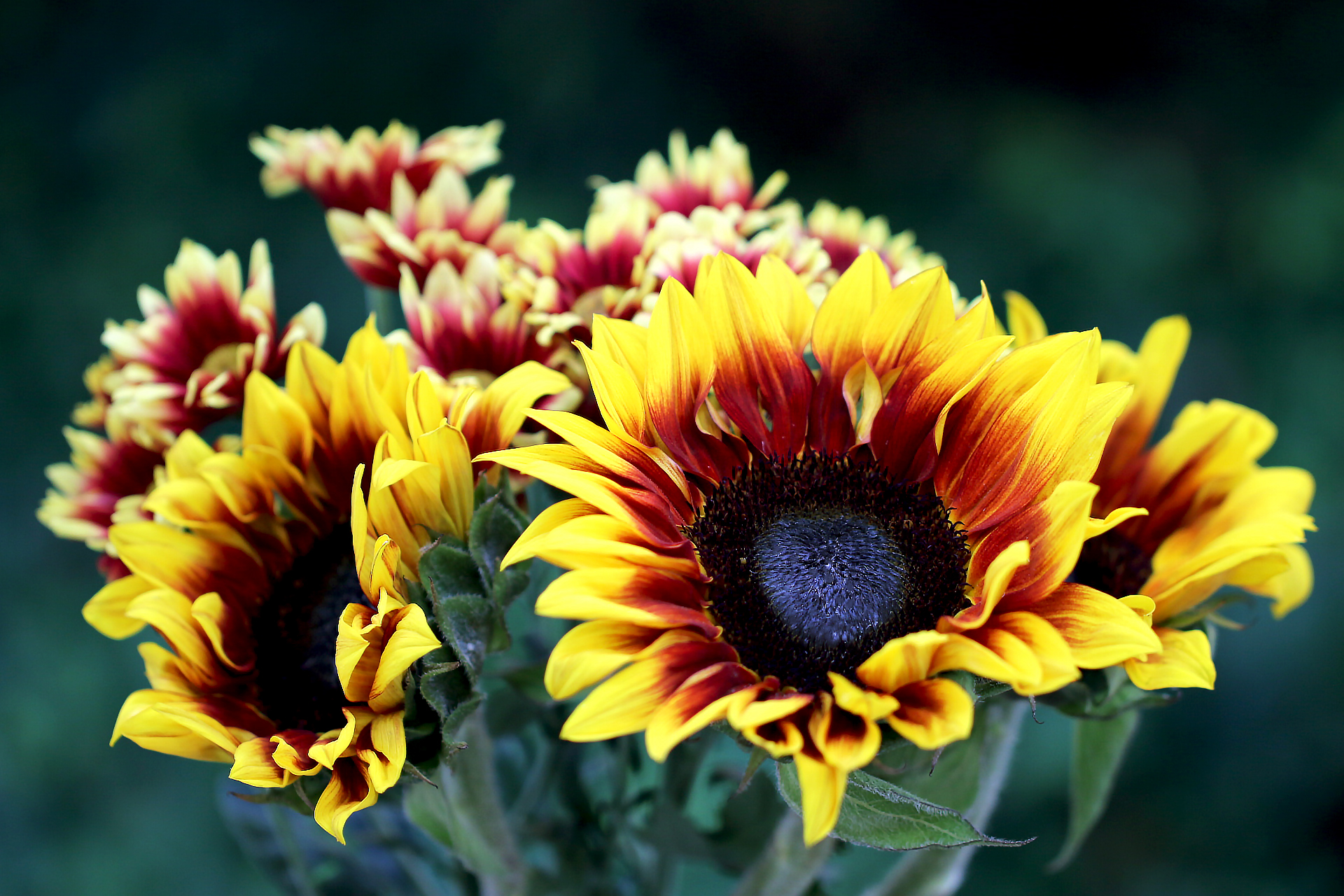 sunflowers-and-chrysanthemums