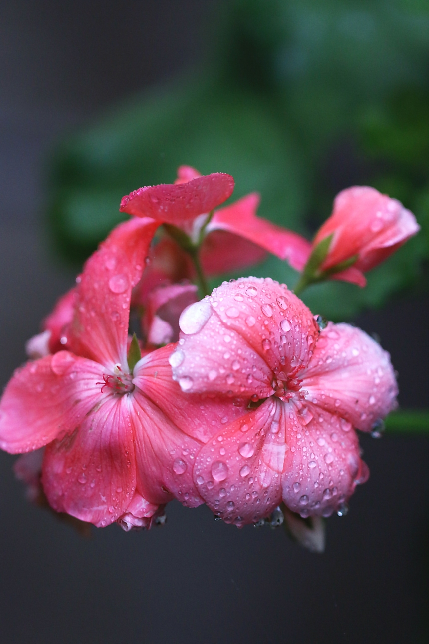 geranium-in-the-rain