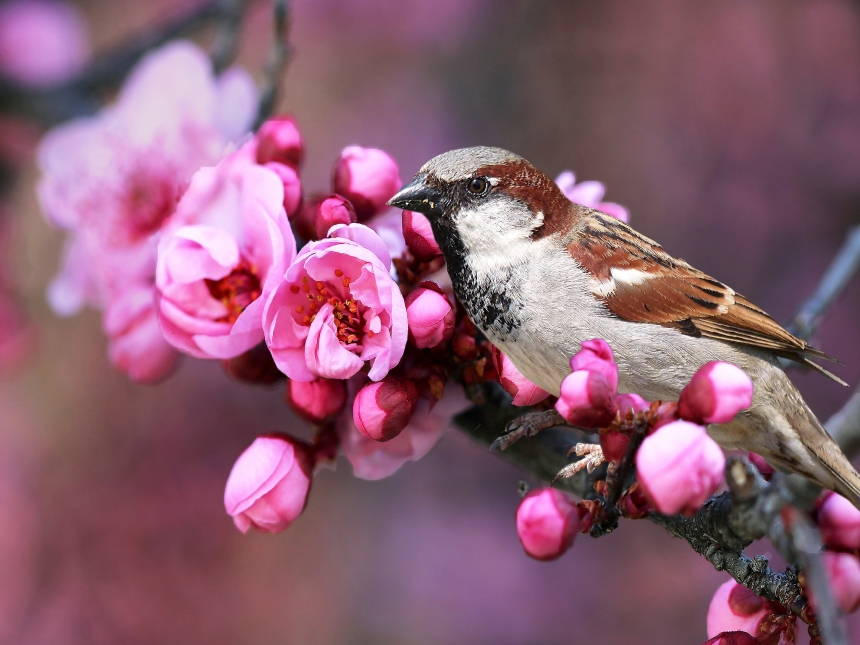 sparrow-and-blossoms