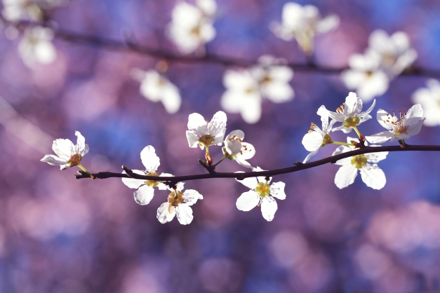 Blossoms of Spring