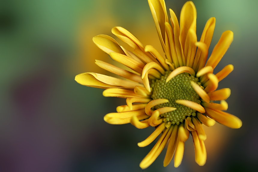 Mum 1 yellow