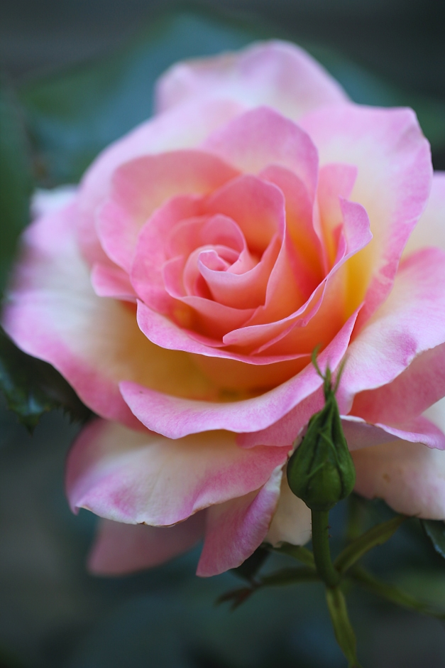 Rose soft two tone