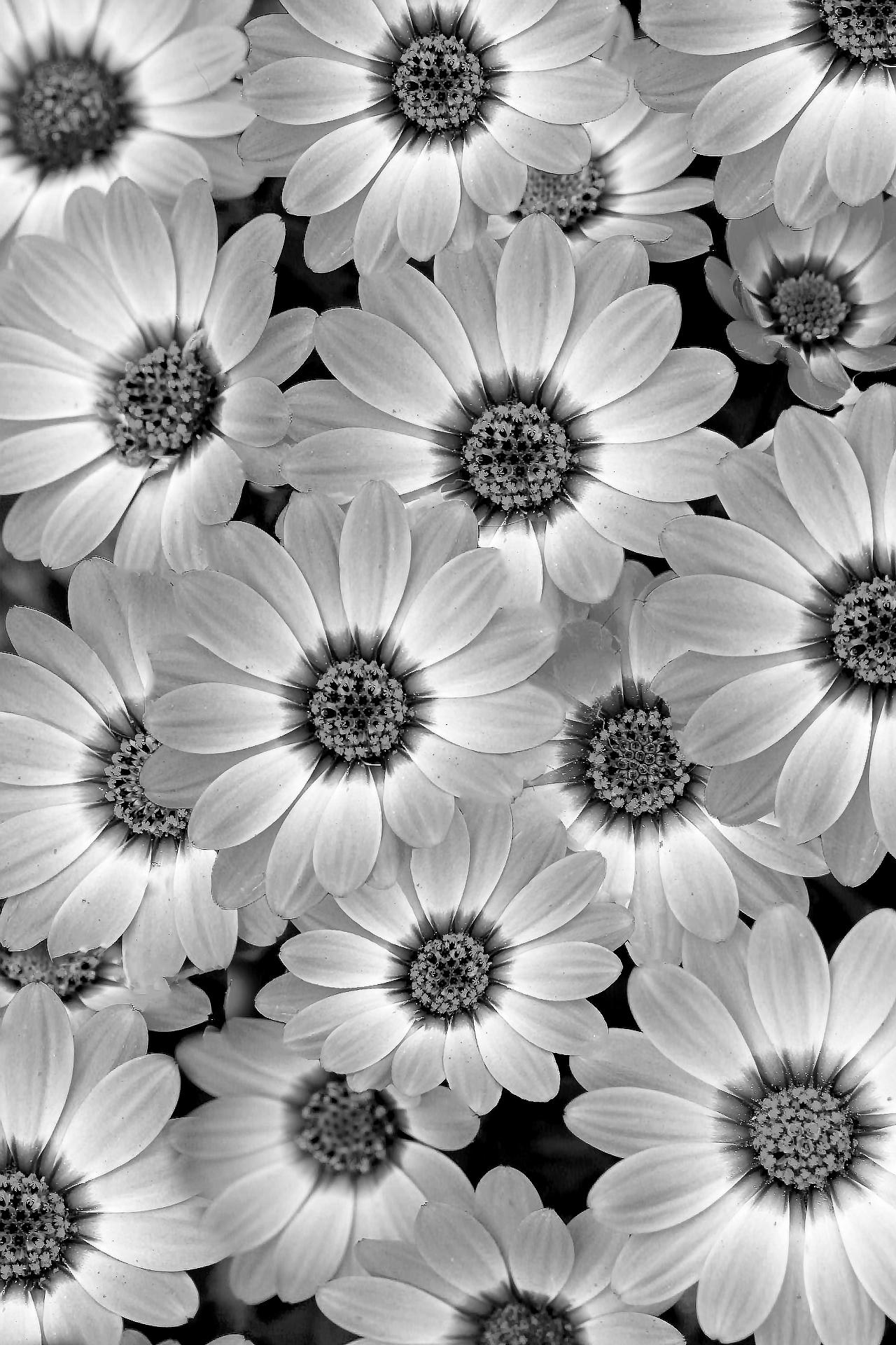 Daisy profusion bw
