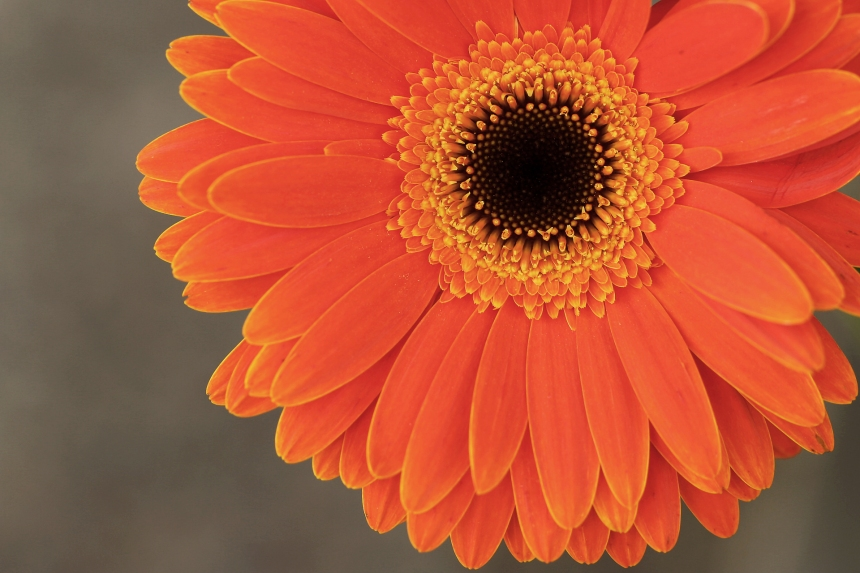 Gerbera Orange on grey