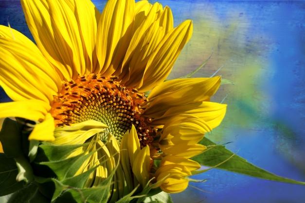 Sunflower unveiling