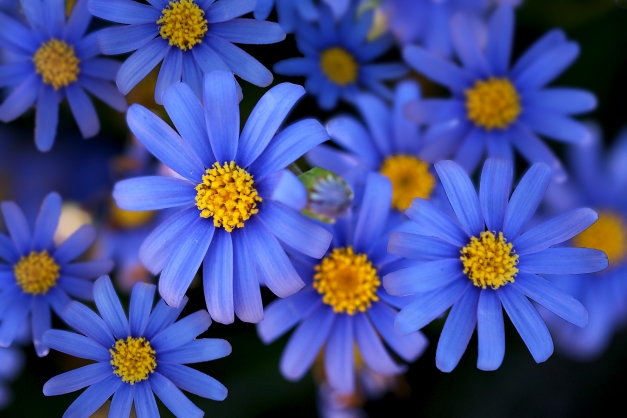 Asters blue