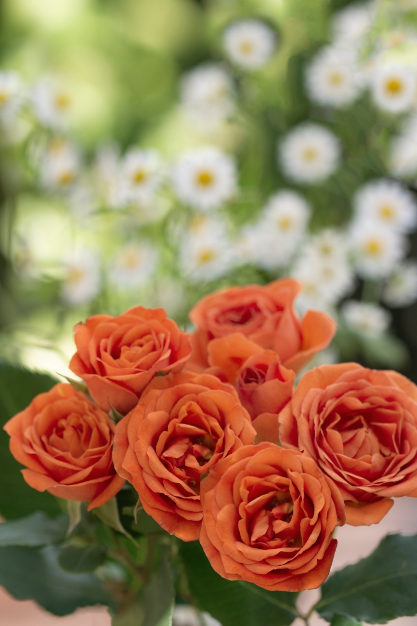 Roses orange and white daisies