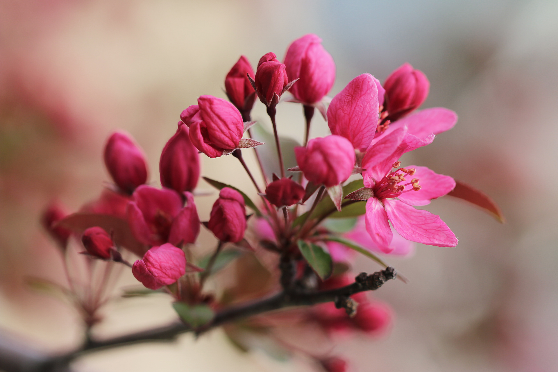 Blossoms Pink Spring