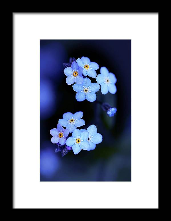 flowers, forget me nots, photography, macro